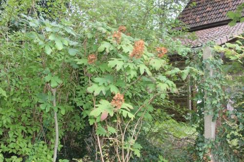 6 hydrangea quercifolia veneux 9 sept 2017 012 (1).jpg