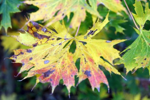 acer plat feuilles barres 11 oct 027.jpg