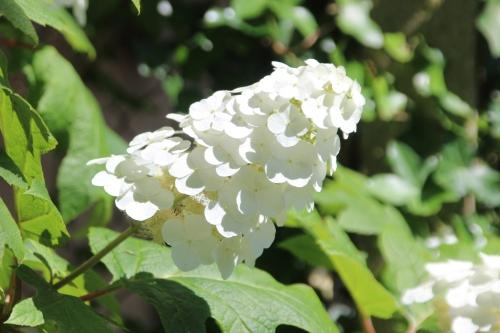 2 hydrangea quercifolia veneux 9 juil 2016 014.jpg