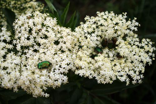 viridis cétoines romi 23 mai 062.jpg
