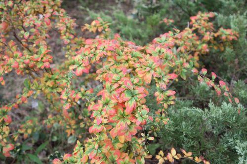 2 berberis amurensis rugidicans gb 6 oct 2012 025 (5).jpg
