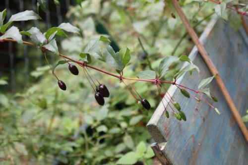 fuchsia reitzii romi 29 oct 2014 047 (1).jpg